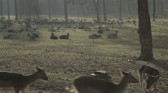 Deer in the woods - Wide shot Stock Footage