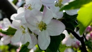 Stock Video Footage of Apple Blossom 4k