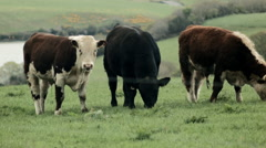 Cows in Kinsale Stock Footage