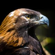Portrait of a Golden Eagle - stock photo