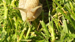 Snail in Grass Stock Footage