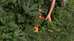 Hand pick ripe yellow vegetable zucchini in village garden. Stock Footage