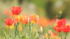 Spring tulips Stock Footage