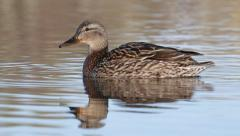 Duck Mallard female swimming Stock Footage