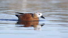 Ruddy shelduck swimming Stock Footage