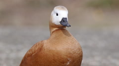 Ruddy shelduck alert watching - stock footage