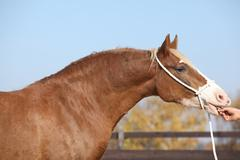 Beautiful welsh cob mare with halter Stock Photos