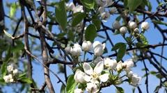 Flowering pear - stock footage