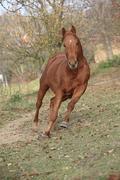 Beautiful chestnut thoroughbred running in autumn - stock photo