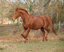 Beautiful chestnut thoroughbred running in autumn Stock Photos