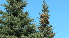 Cones hanging high on the fir against the blue sky - stock footage