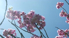 Pink cherry blossom against sun Stock Footage