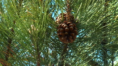Stock Video Footage of pine-cones
