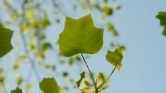 Fresh tulip tree leaves in slow motion Stock Footage
