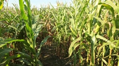 Green Corn Plants In Agricultural Field Stock Footage