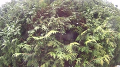 Closeup of green thuja fluttering in the wind Stock Footage