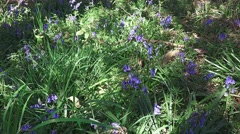 Spring wild flowers - bluebell woodland forest floor Stock Footage