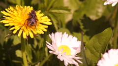 Fly Feeding on Pollen Stock Footage