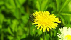 Bites and Bee on the Same Dandelion Stock Footage