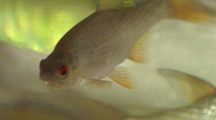Fish In a Bowl3 Stock Footage