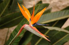 Crane Flower, Bird of Paradise, Strelitzia Reginae Stock Photos