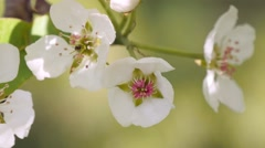 Branch of apple tree in bloom in the spring. Stock Footage