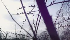 Willow Catkins on a Spring Morning Stock Footage