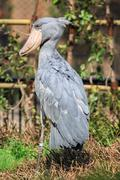 Captive shoebill stork Stock Photos