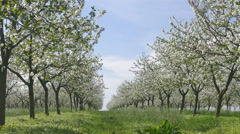 Beautiful blosoming cherry fruit  trees in orchard Stock Footage