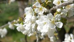 Cherry blossom tree branch flowers spring springtime japan background sakura Stock Footage