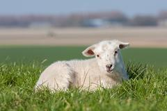 Cute lamb lying in grass, The Netherlands - stock photo