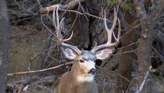 Closeup of Courting Rutting Buck W Exposure Correction Stock Footage