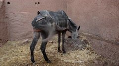 Stock Video Footage of A black horse eating in a small stable in Ait Ben Haddu, Morocco.