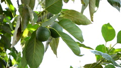 Avocado fruit hanging at branch of tree in a plantation Arkistovideo