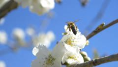 Slow motion bees flying bee pollen flowers cherry tree blossom sunny blue sky Stock Footage