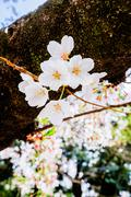 Sakura bloom - stock photo