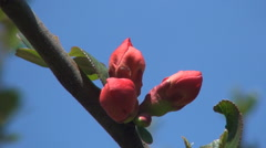 Red Buds Japanese Flower Tree  Blooming Season  Blue Sky Background       Stock Footage