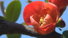 Red Flower Park Tree Blooming Springtime Season Blue Sky Background Sunshine Day Stock Footage