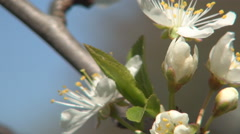 Immaculate Floral Blooming Season Japanese White Cherry Flowers Flowering Season Stock Footage