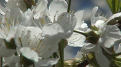Apple Flowers Bloom Bunch Inflorescence Day Outdoor Immaculate Nature Explosion Stock Footage