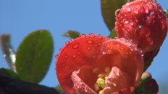 Rain Water Red Flowers Dew Drops Trees Inflorescence Petal Aroma Beauty Paradise Stock Footage