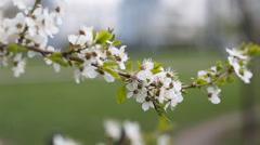 Flowers blooming mirabelle. Stock Footage