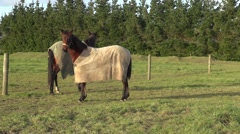 Race horse sniffs camera Stock Footage
