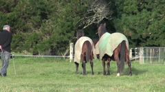 Two race horses galloping around paddock Stock Footage