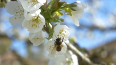 slow motion bees flying bee pollen flowers cherry tree blossom sunny blue sky - stock footage
