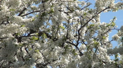 Blooming Time Blossoming Season Inflorescence Day Wild Nature Tree Flowering   Stock Footage