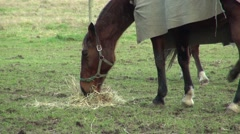 Race horses eating hay in paddock Stock Footage