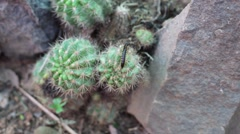 Centipede on Cactus 2 - stock footage