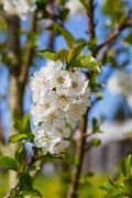 Apple tree blossom against blue sky macro Stock Photos