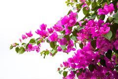 Bougainvillea flower on white - stock photo
